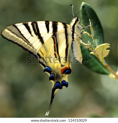 Swallowtail butterfly (Papilio machaon) in green natural environment (square composition) - stock photo