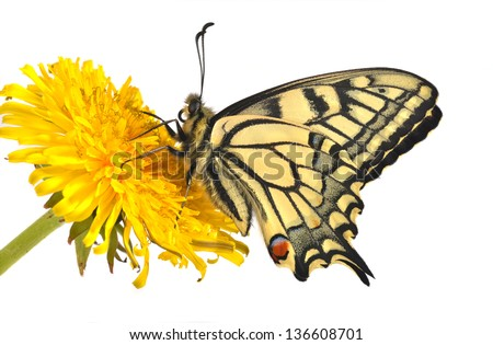 Swallowtail butterfly (Papilio machaon male) sitting on a dandelion - stock photo