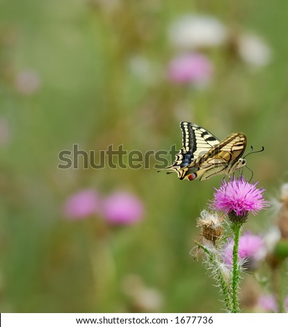 Swallowtail butterfly (Papilio machaon) on pink flower