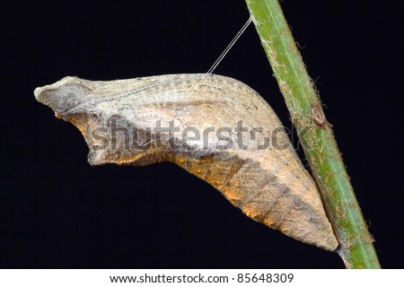 Swallowtail Butterfly Pupa in Silk Sling Isolated on Black - stock photo
