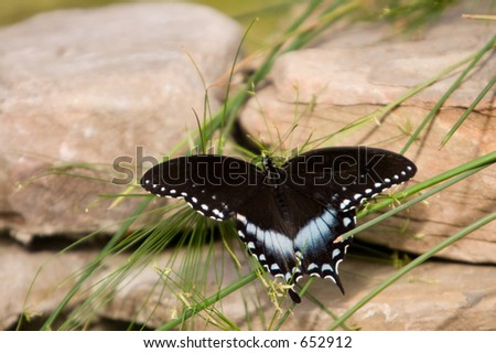 Swallowtail Butterfly resting on the rocks and blades of grass.