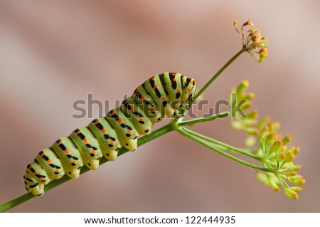 Swallowtail caterpillar in a fennel plant - stock photo