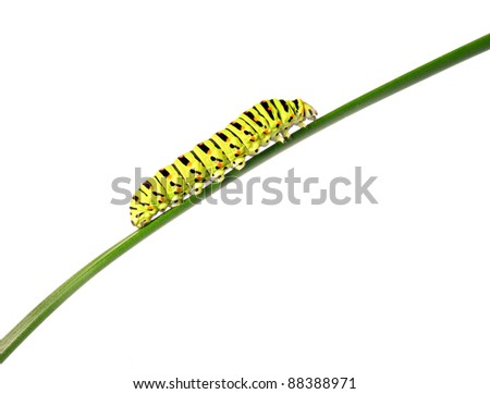 Swallowtail caterpillar on a stalk isolated on a white background. Studio shot. - stock photo