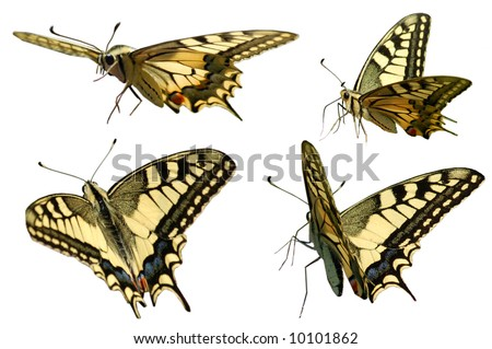 Swallowtail in different positions isolated on white - stock photo