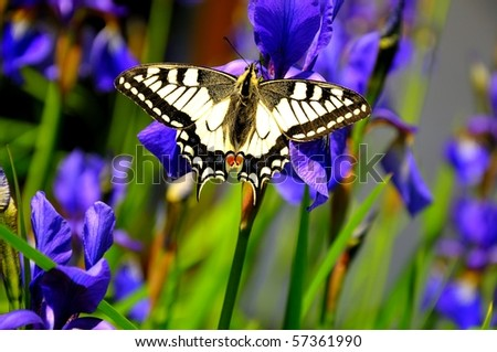 Swallowtail on purple lilies - stock photo