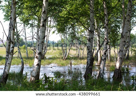 Swamp in the forest with birches in Russia