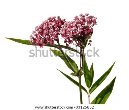 Swamp Milkweed Wildflower (Asclepias  incarnata) Isolated on White - stock photo