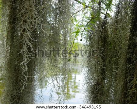 Swamp Spanish Moss - stock photo