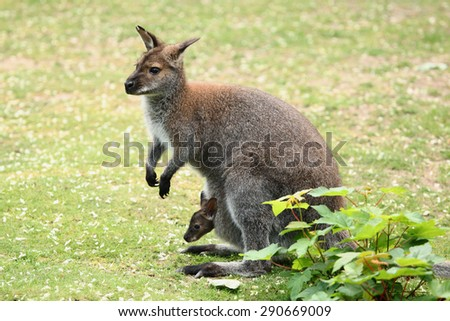 Pademelon  Wikipedia