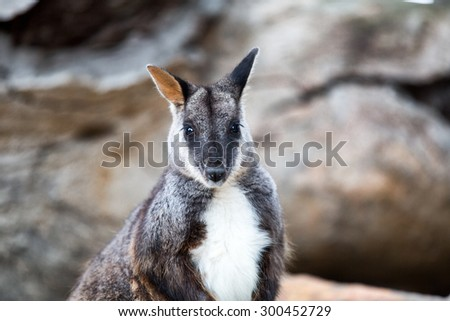 Swamp wallaby (Wallabia bicolor), also known as the black wallaby. Wildlife animal. - stock photo