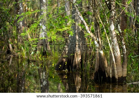 Swamp wildflowers bloom around cypress tree trunks in Florida Everglades