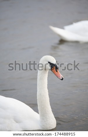 Swan - stock photo