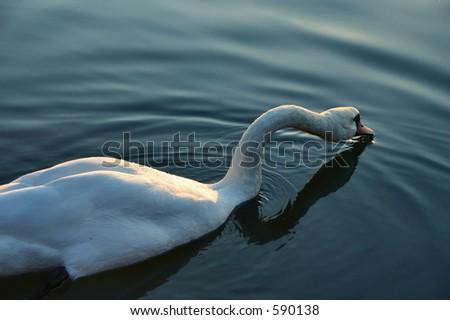swan #2 - stock photo
