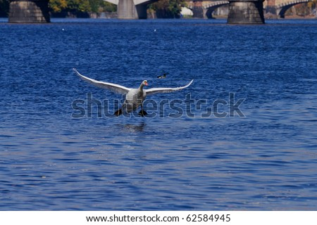 swan above river - stock photo