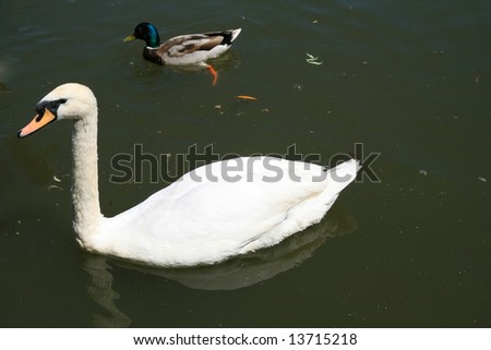 swan and duck - stock photo