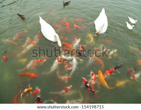 swan and duck with koi fish swimming in the pond - stock photo