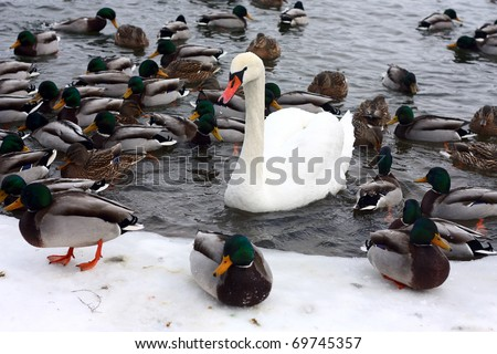 Swan and ducks on frozen river - stock photo