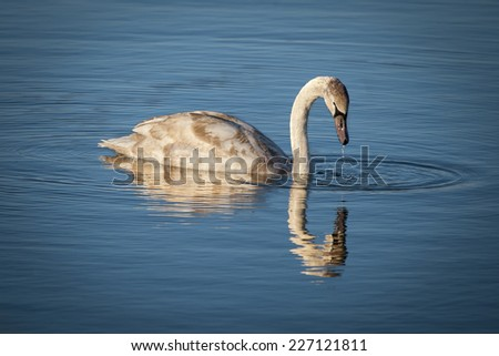 Swan and his reflection in a blue lake
