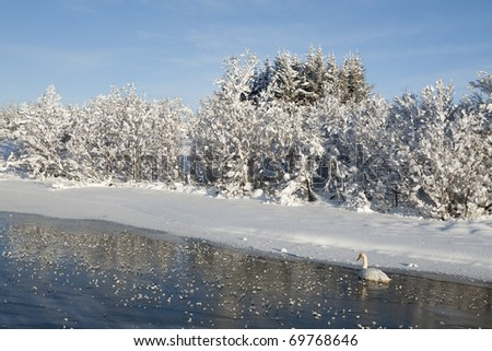 Swan and Lake in Iceland winter - stock photo