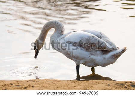 Swan at lake drinking water - stock photo