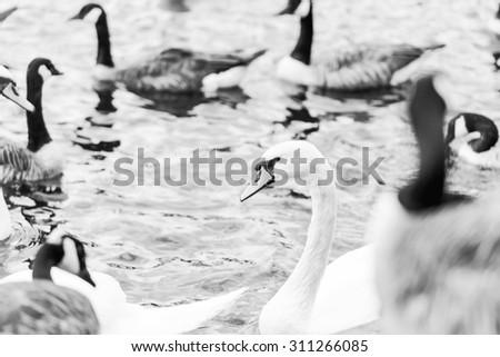 Swan, Burton Upon trent national symbol in River Trent. - stock photo