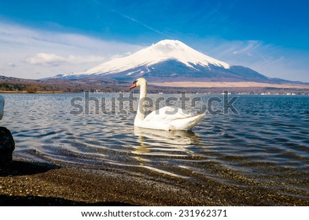 Swan by the majestic mount Fuji in Japan - stock photo