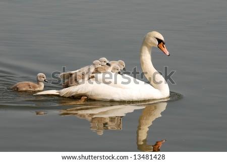 swan carries chicks piggyback - stock photo