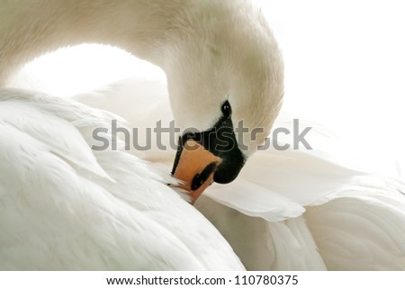Swan cleaning its Plumage, HighKey - stock photo