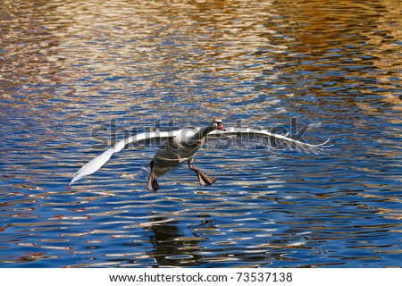 swan coming - stock photo