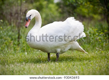 Swan coming out of from the tree area. Isolated with Nature - stock photo