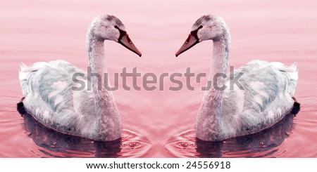 Swan couple - stock photo