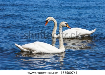 Swan couple on the lake in bright sunlight.