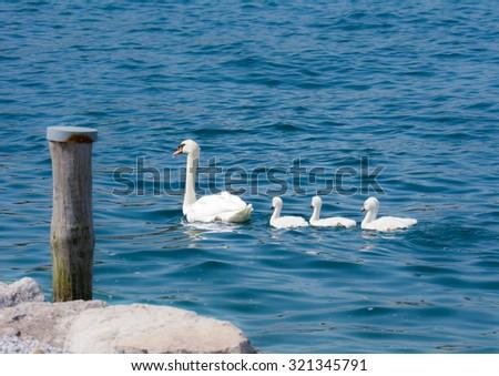 Swan (cygnus olor) family with babies - stock photo