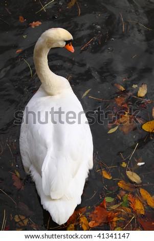 Swan drifting amidst fallen autumn leaves - stock photo