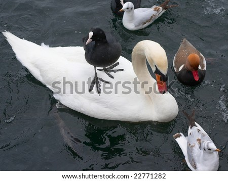 Swan, duck, gulls and bald-coots - stock photo