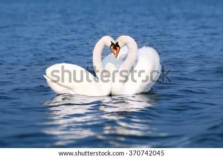 Swan Fall in Love, Birds Couple Kiss, Two Animal Heart Shape - stock photo