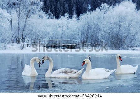 swan-familiy in winter on the lake - stock photo