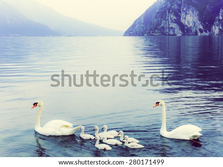 swan family. Garda lake landscape, Italy. Riva del Garda - stock photo