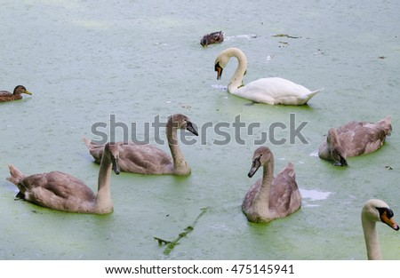 swan family, juvenile mute swans