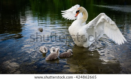 Swan family.little ducklings,cute birds. - stock photo