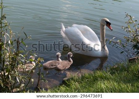Swan family swimming in the river - stock photo