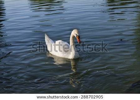 Swan floating in the river. Swan on blue lake water. - stock photo
