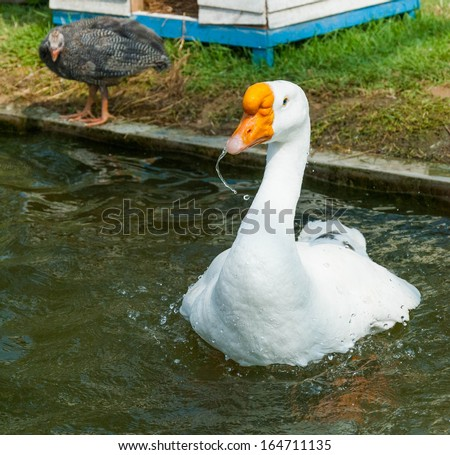 Swan floats on the water surface. - stock photo
