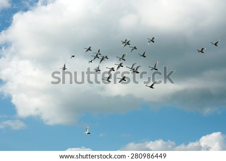 Swan flock flying in sky - stock photo
