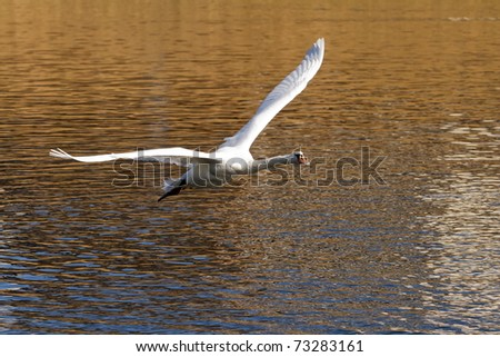 swan gliding - stock photo