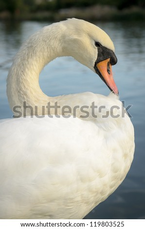Swan grooming on the bank of the river Thames in Oxford - stock photo