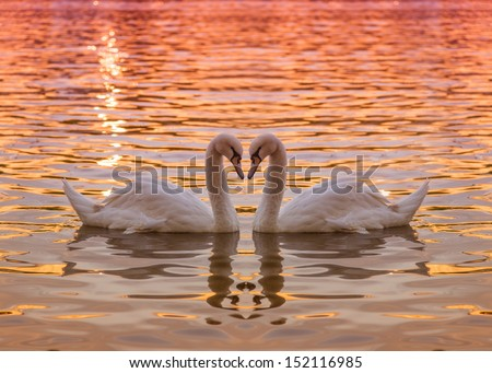 swan heart - stock photo