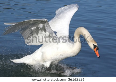 Swan in action