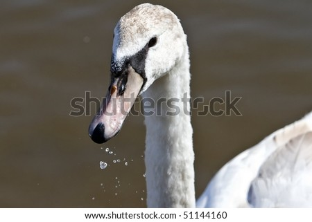 swan in detail - stock photo