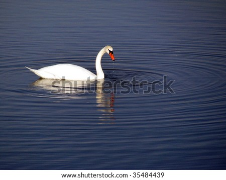 Swan in Dutch lake